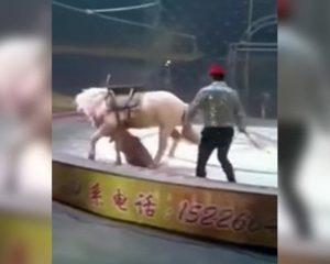 Tigre y leona atacan a caballo durante función de circo (VIDEO)