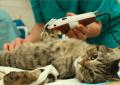Mujer gasta más de 19 mil dólares en un trasplante de riñón… ¡para su gato!