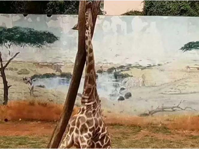 Tragedia en zoológico: jirafa queda atorada en árbol y muere