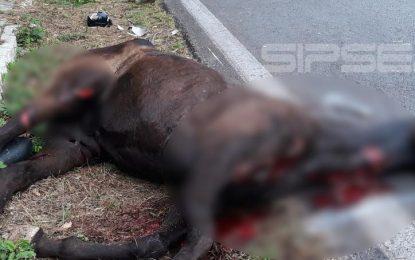Caballo muere atropellado por culpa de jinete ebrio